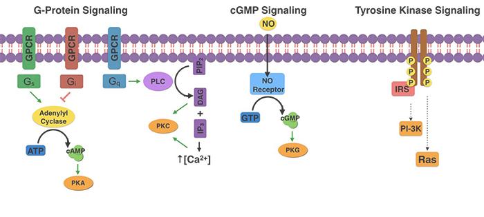 Signal Transduction Biochemistry Medbullets Step 1
