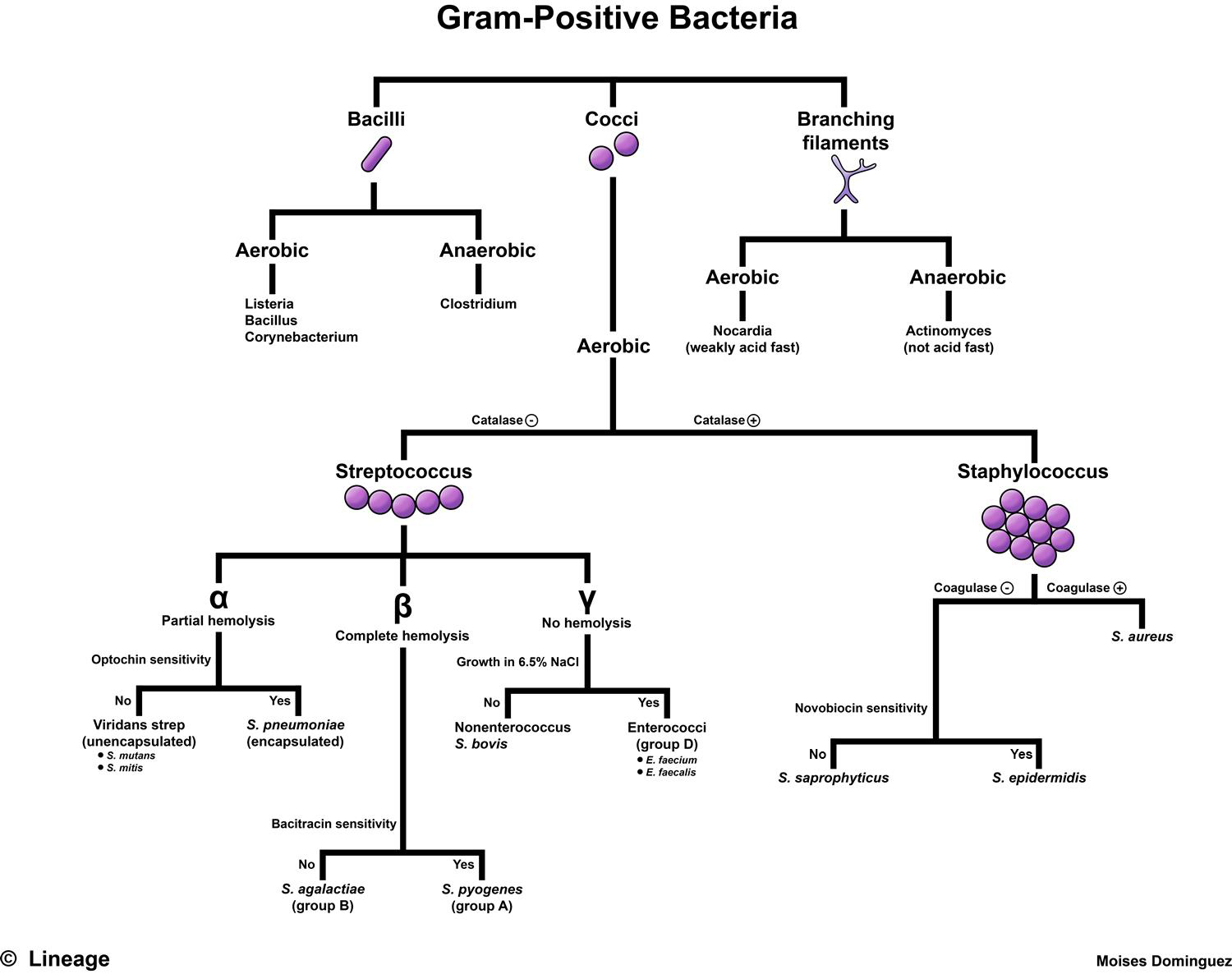 Gram positive bacteria microbiology medbullets step 1