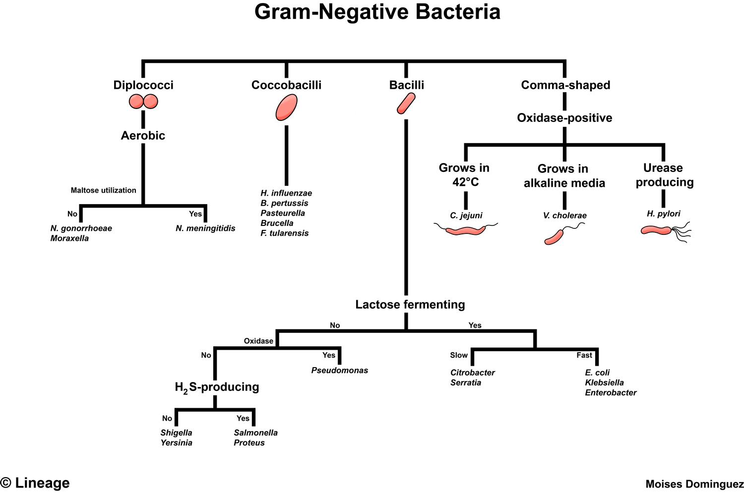 Gram negative bacteria microbiology medbullets step 1 gram negative bacteria table ccuart Images