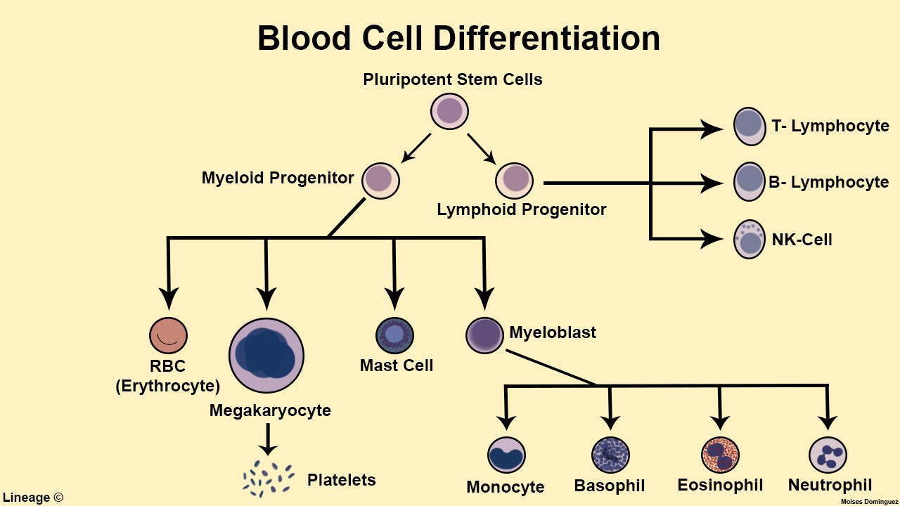 This illustration highlights the basic development of various blood cells from hematopoietic stem cells.