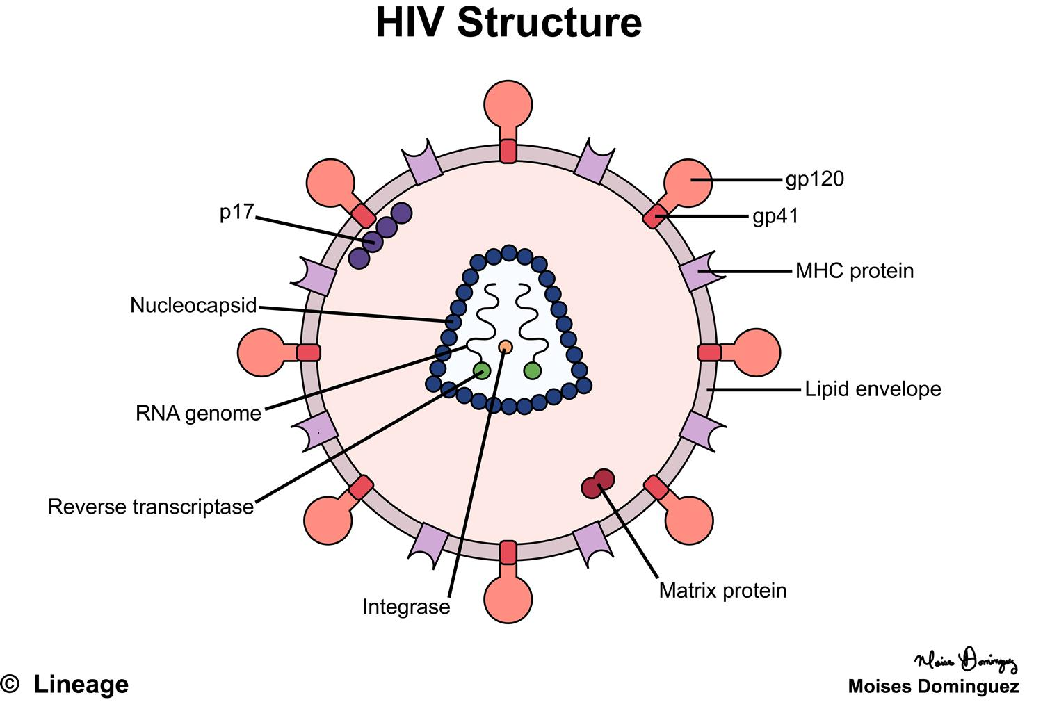 Human Immunodeficiency Virus / Acquired Immunodeficiency ...Hiv Virus Diagram Labeled