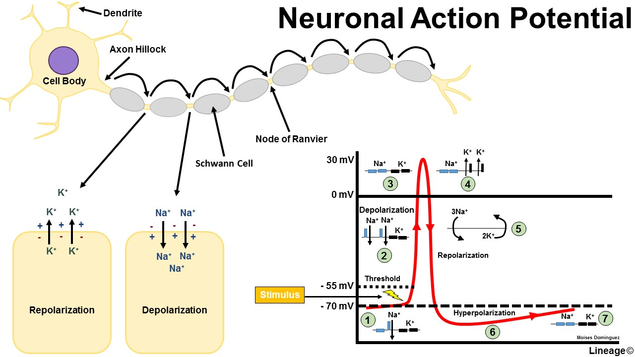 Action Potential Basics - Neurology - Medbullets Step 1