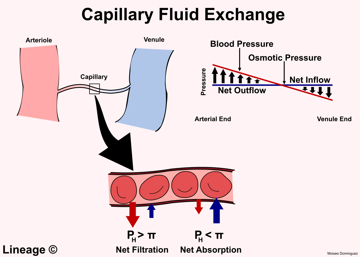 Capillary Fluid Exchange Cardiovascular Medbullets Step 1