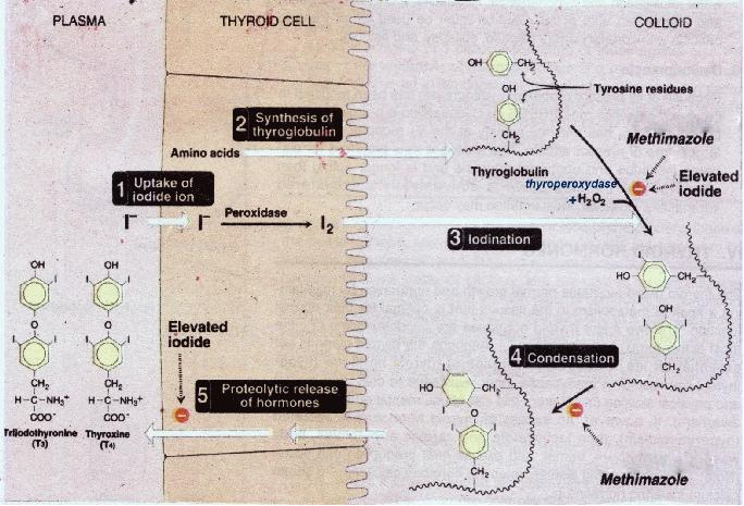 Thyroid Drugs Endocrine Medbullets Step 1