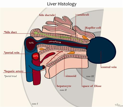 Liver Histology - Gastrointestinal - Medbullets Step 1