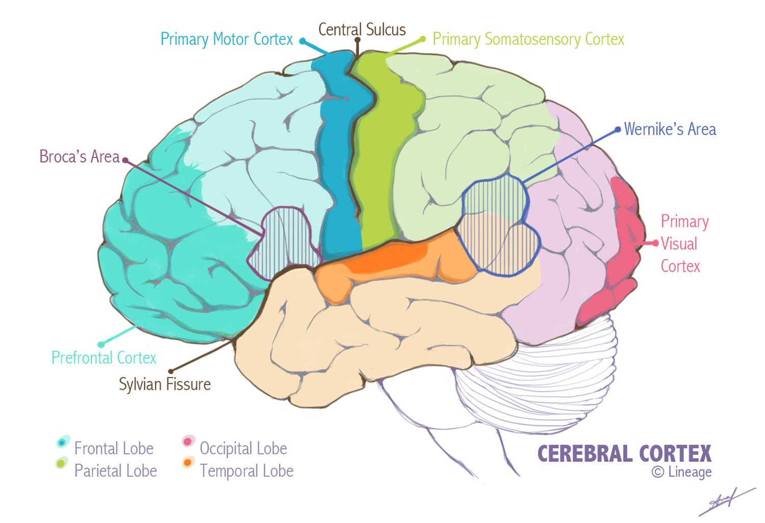 Map of the cerebral cortex and important landmarks.