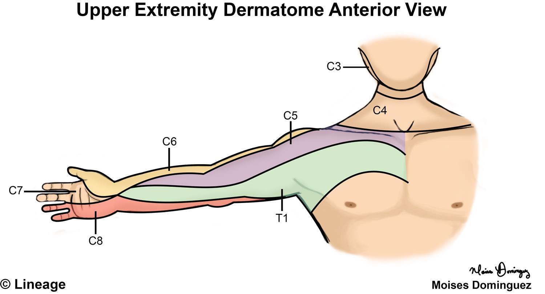 Dermatomes - Neurology - Medbullets Step 1 Upper Extremity Myotomes