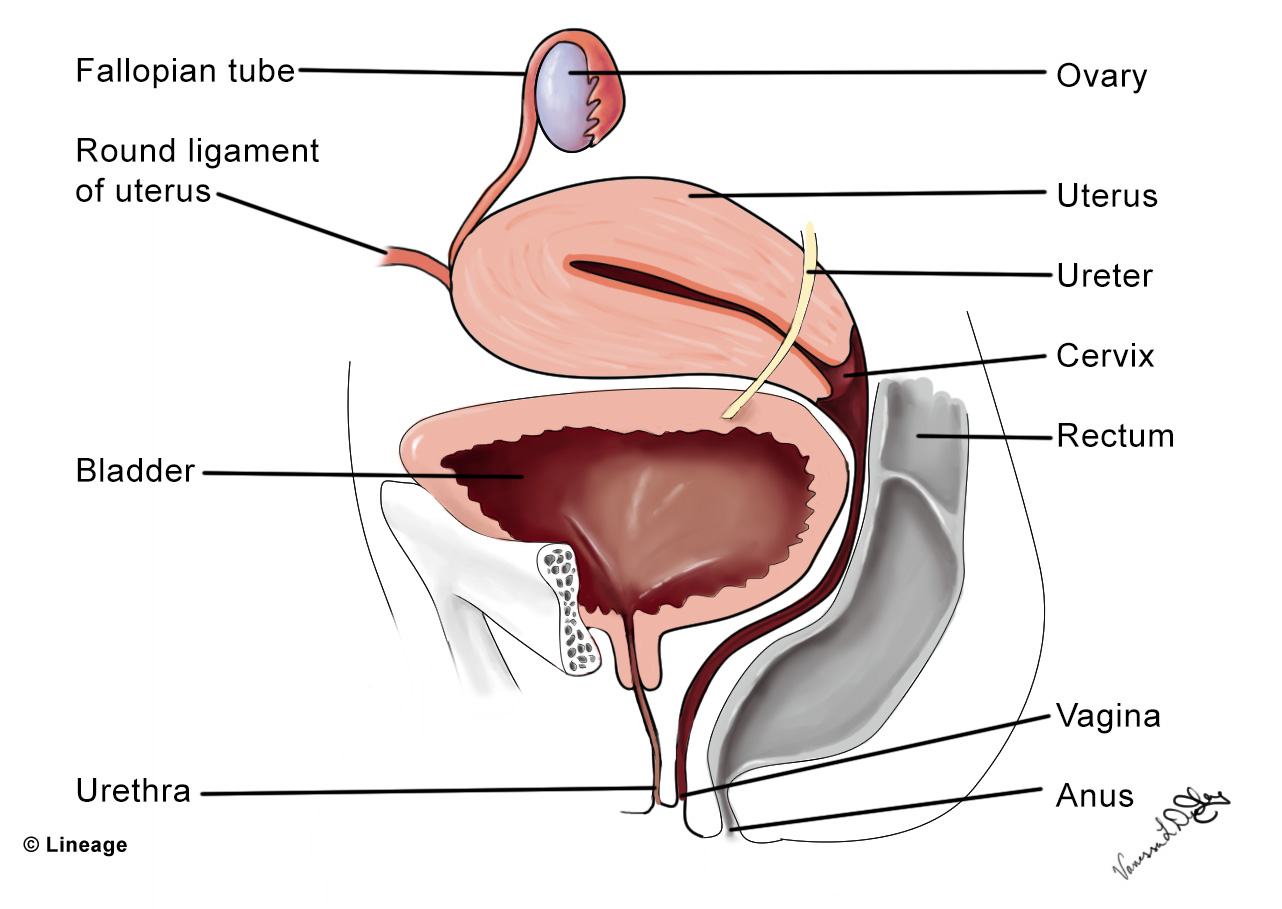 Uterine anatomy ligaments
