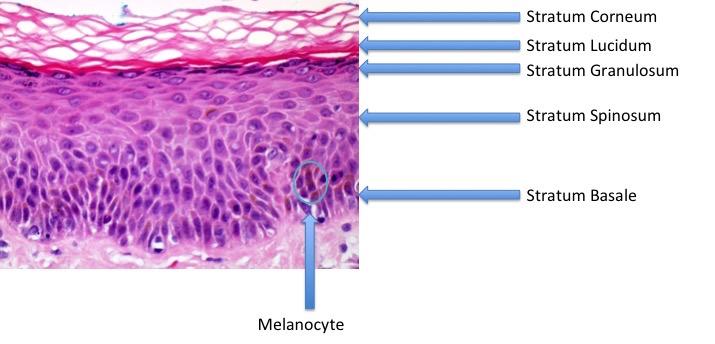 Skin Anatomy And Wound Healing Dermatology Medbullets