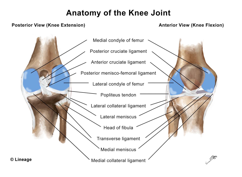 cruciate ligament ligament térdkezelés