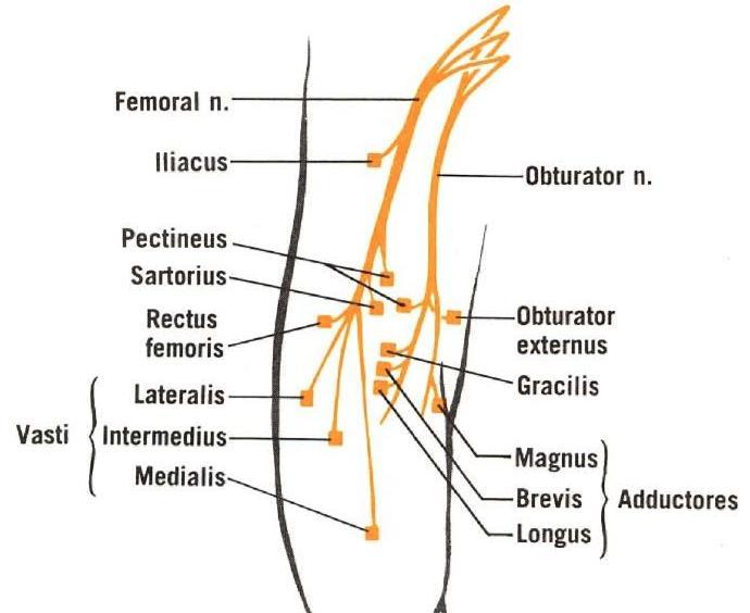 Rectus Femoris - Anatomy - Medbullets Step 1