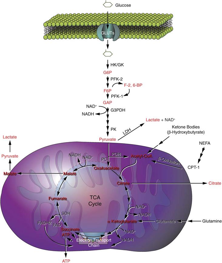 Anaerobic Metabolism: Pyruvate Dehydrogenase Complex