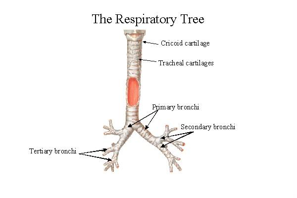 airways - respiratory