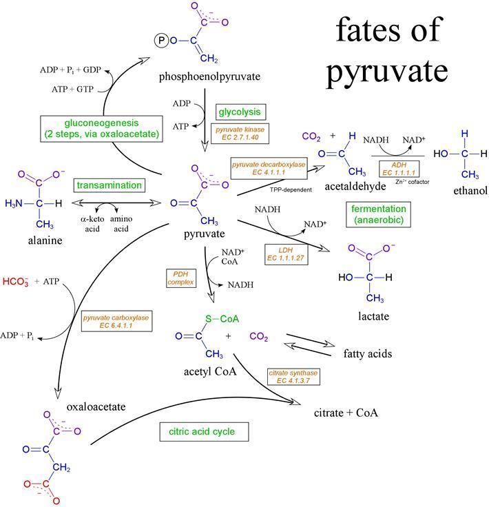 Anaerobic Metabolism: Pyruvate Metabolism