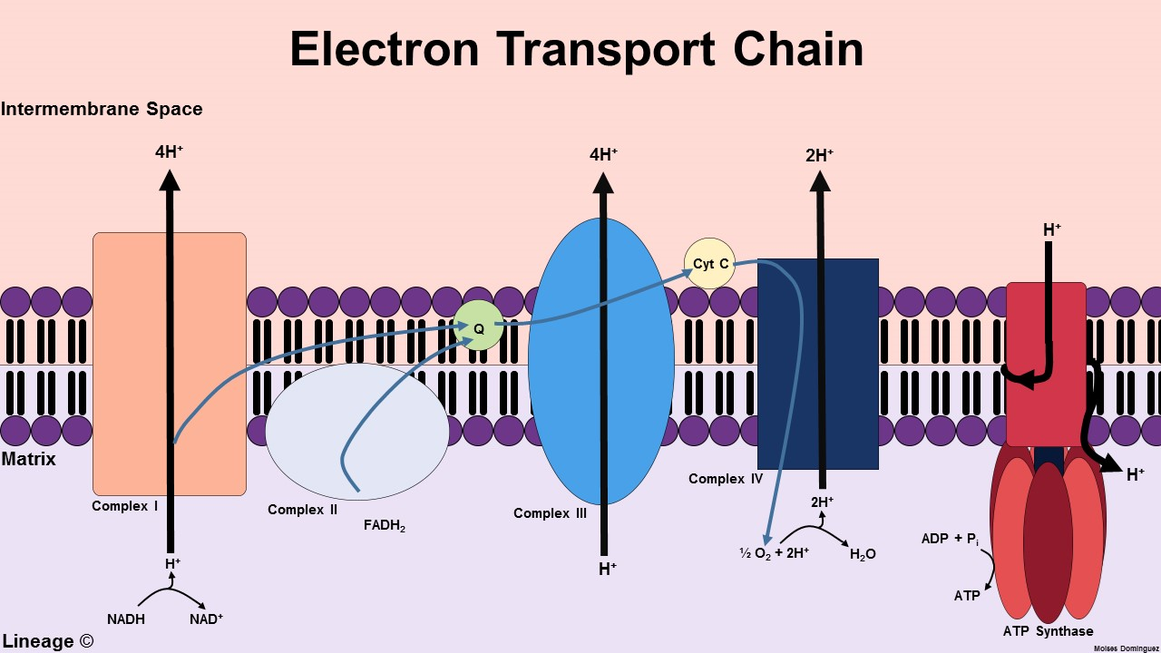 Electron transport chain biochemistry medbullets step 1 couple energy stored in elect ccuart Choice Image