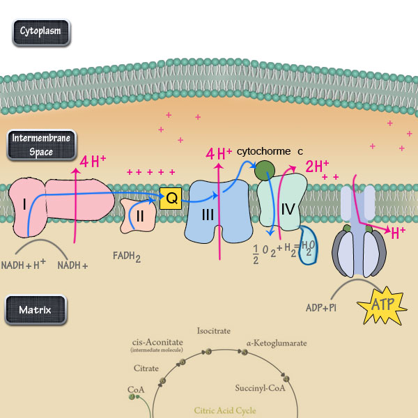 Electron Transport Chain - Biochemistry - Medbullets Step 1