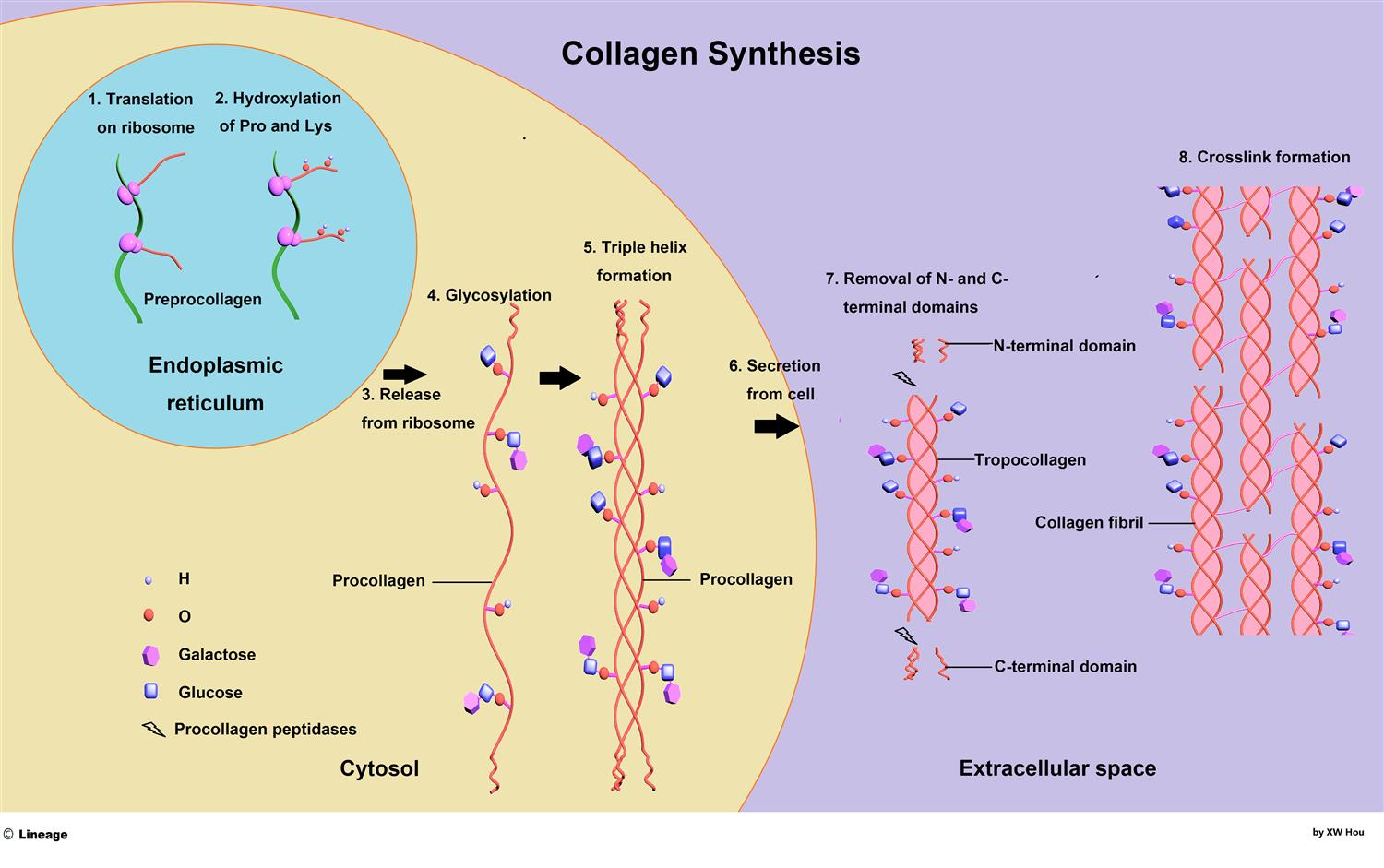 https://upload.medbullets.com/topic/102078/images/collagen.jpg