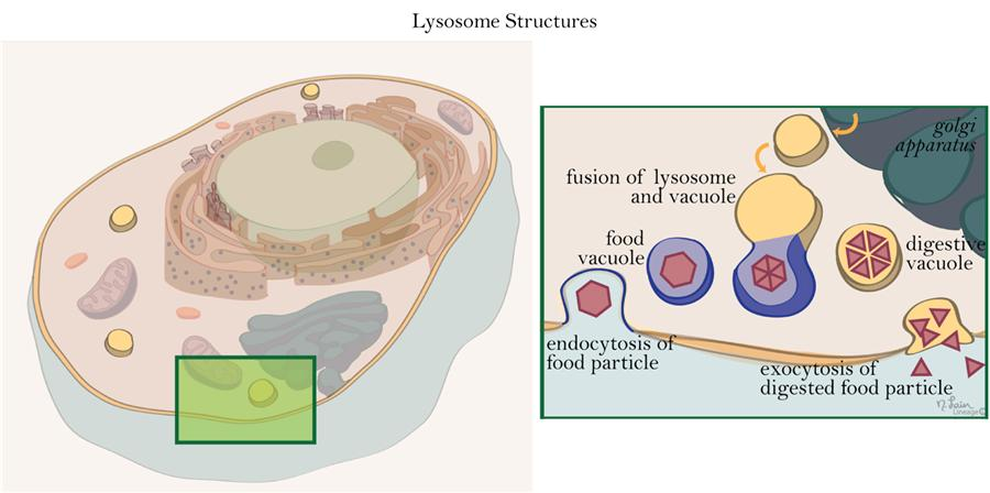 This is an illustration of the lysosome and it's basic function.