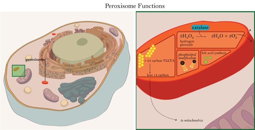 Illustration of peroxisome functions: 1) breakdown of VLFCA. 2) bile acid synthesis.  3) modification of phospholipds. 4) degradation of hydrogen peroxide.