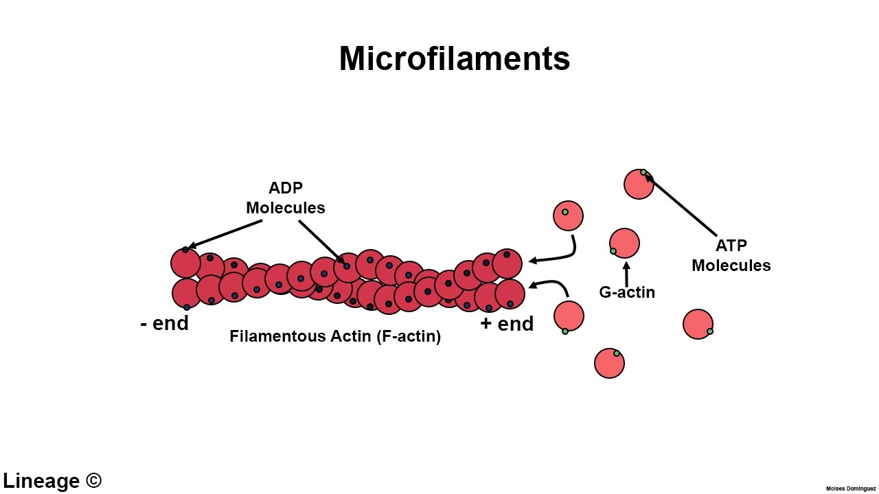 mf microfilaments biochemistry medbullets step 1