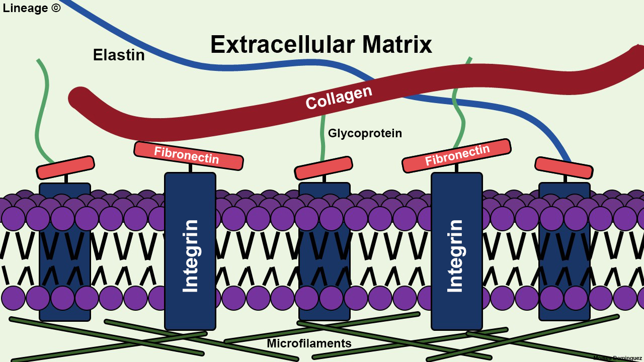 This illustration highlights the basic components of the extracellular matrix