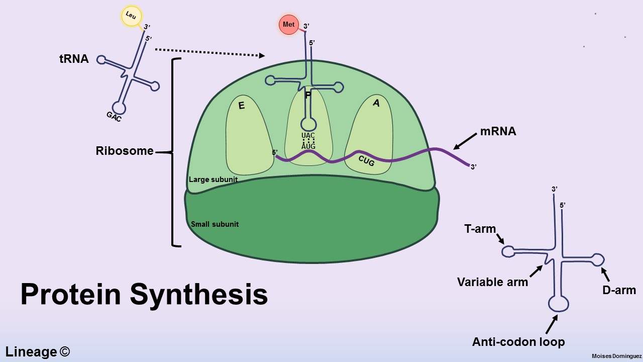 Protein Synthesis Overview - Biochemistry - Medbullets Step 1