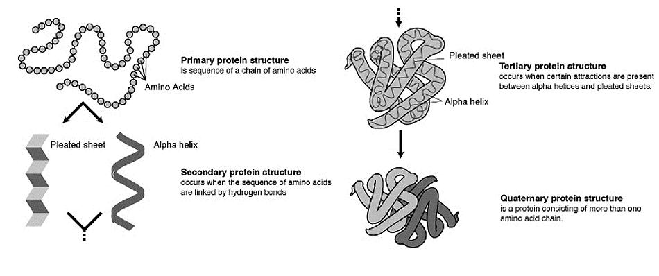 protein biochemistry Protein structure and dynamics  biochemistry undergraduate student society  included among these are protein and membrane-protein structures,.