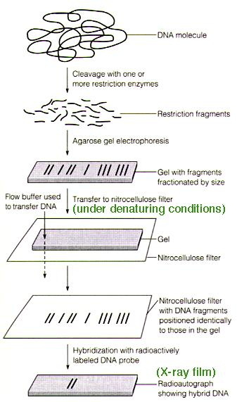 This image depicts the steps of a Southern blot.  First, the DNA is digested by a restriction enzyme.  Next, the digested DNA is separated by size by gel electrophoresis.  The DNA fragments are then transferred to a nitrocellulose paper.  Finally, a DNA tag is hybridized to the sequence of interest and is validated.