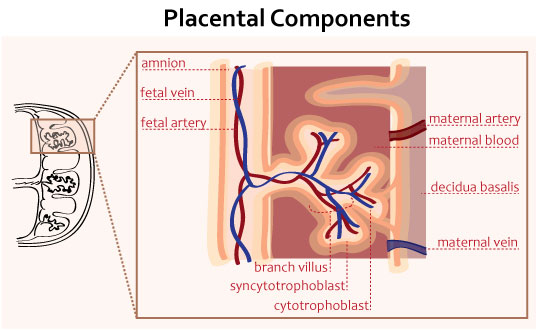 https://upload.medbullets.com/topic/103007/images/placental-components.jpg