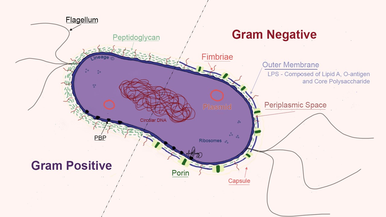 This illustration highlights the basic bacterial structures in gram positive and gram negative bacteria. LPS = Lipopolysaccharides; PBP = Penicillin-binding proteins.
