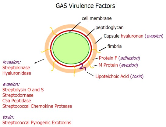 Image result for virulence factors of group a streptococcus