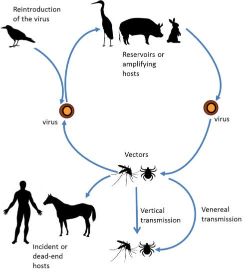 Arbovirus encephalitis transmitted sexual disease