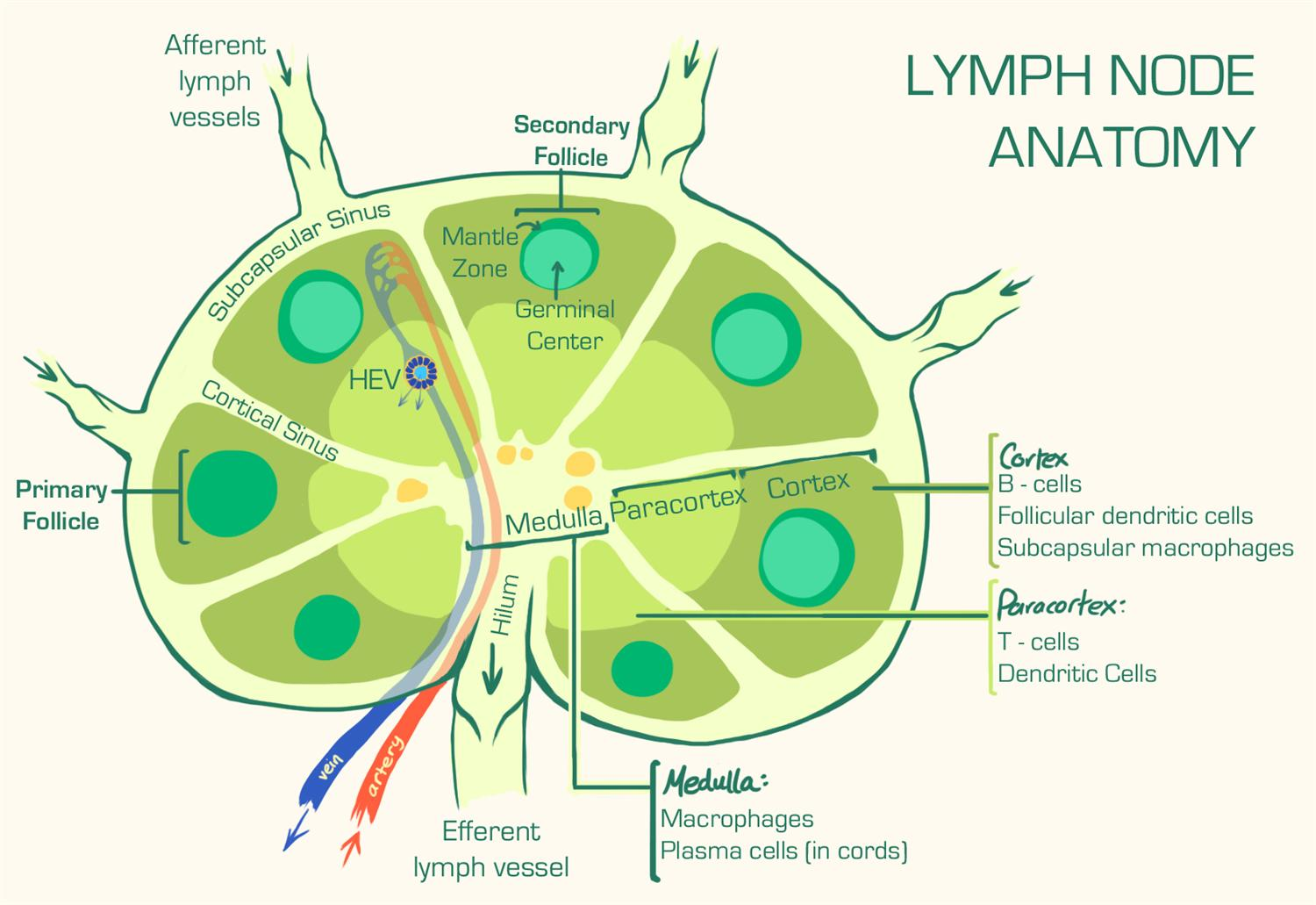 Secondary Lymphoid Tissue Immunology Medbullets Step 1