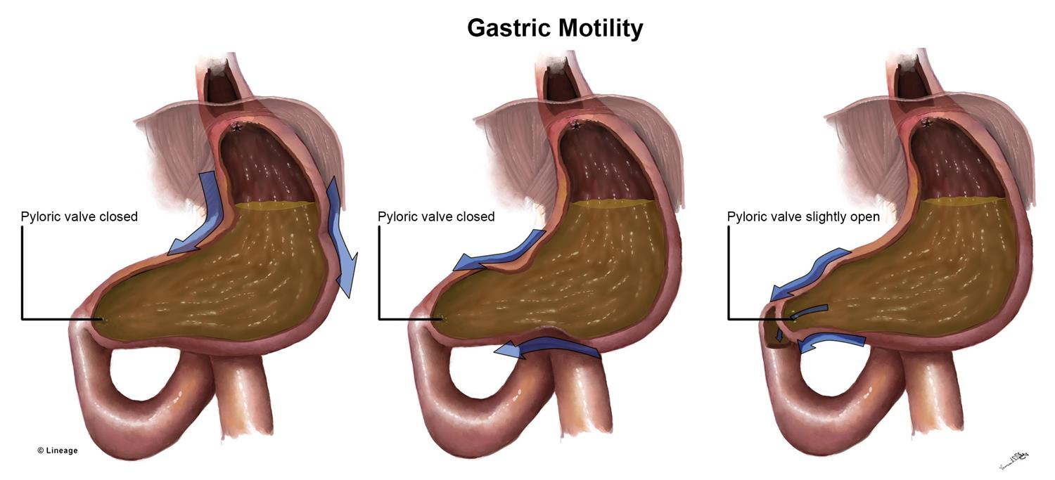 https://upload.medbullets.com/topic/106024/images/gastric_motility.jpg