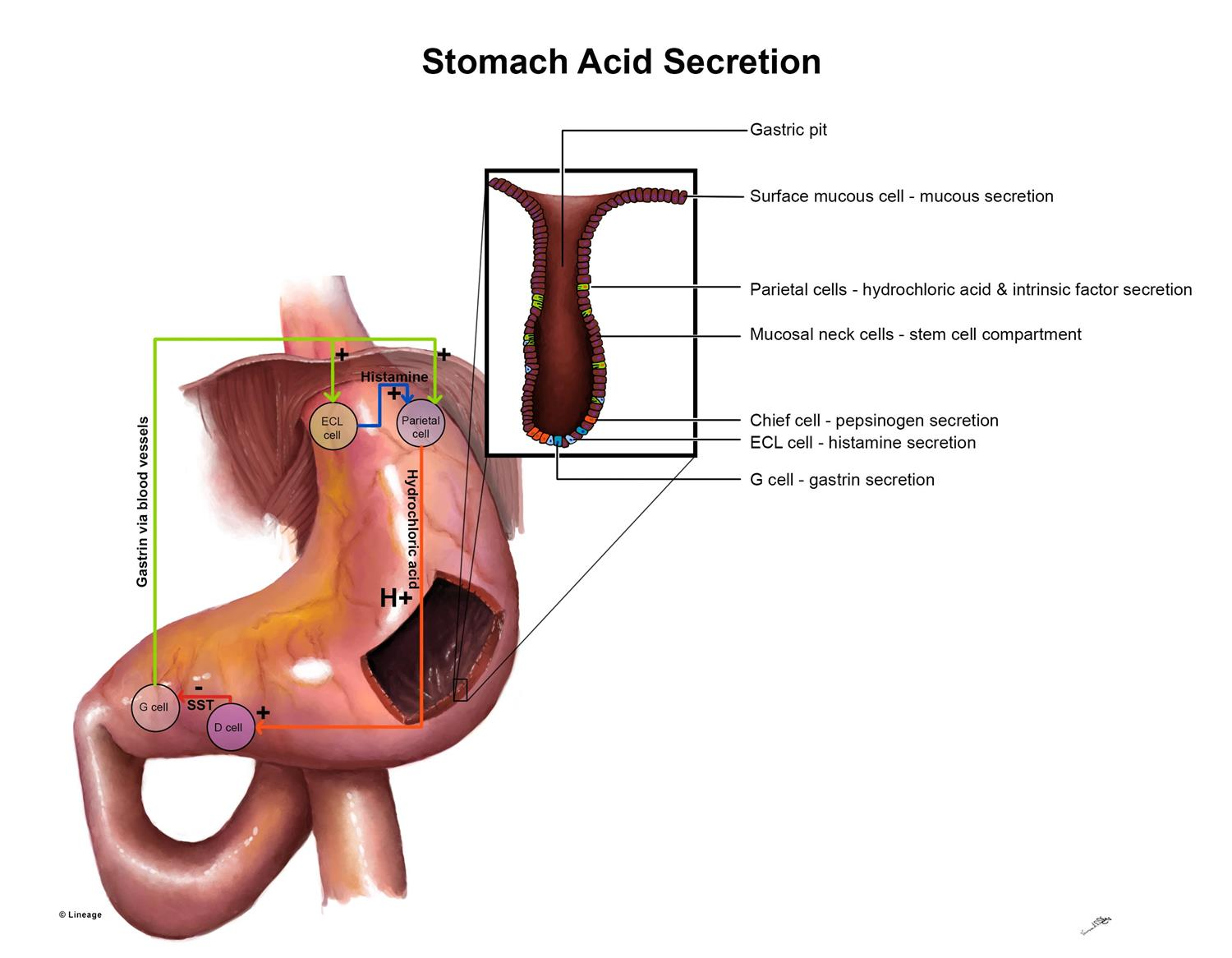 https://upload.medbullets.com/topic/106036/images/stomach_secretion_2.jpg