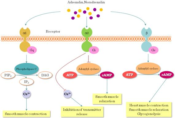 G Protein-Coupled Receptors (GPCR) - Pharmacology