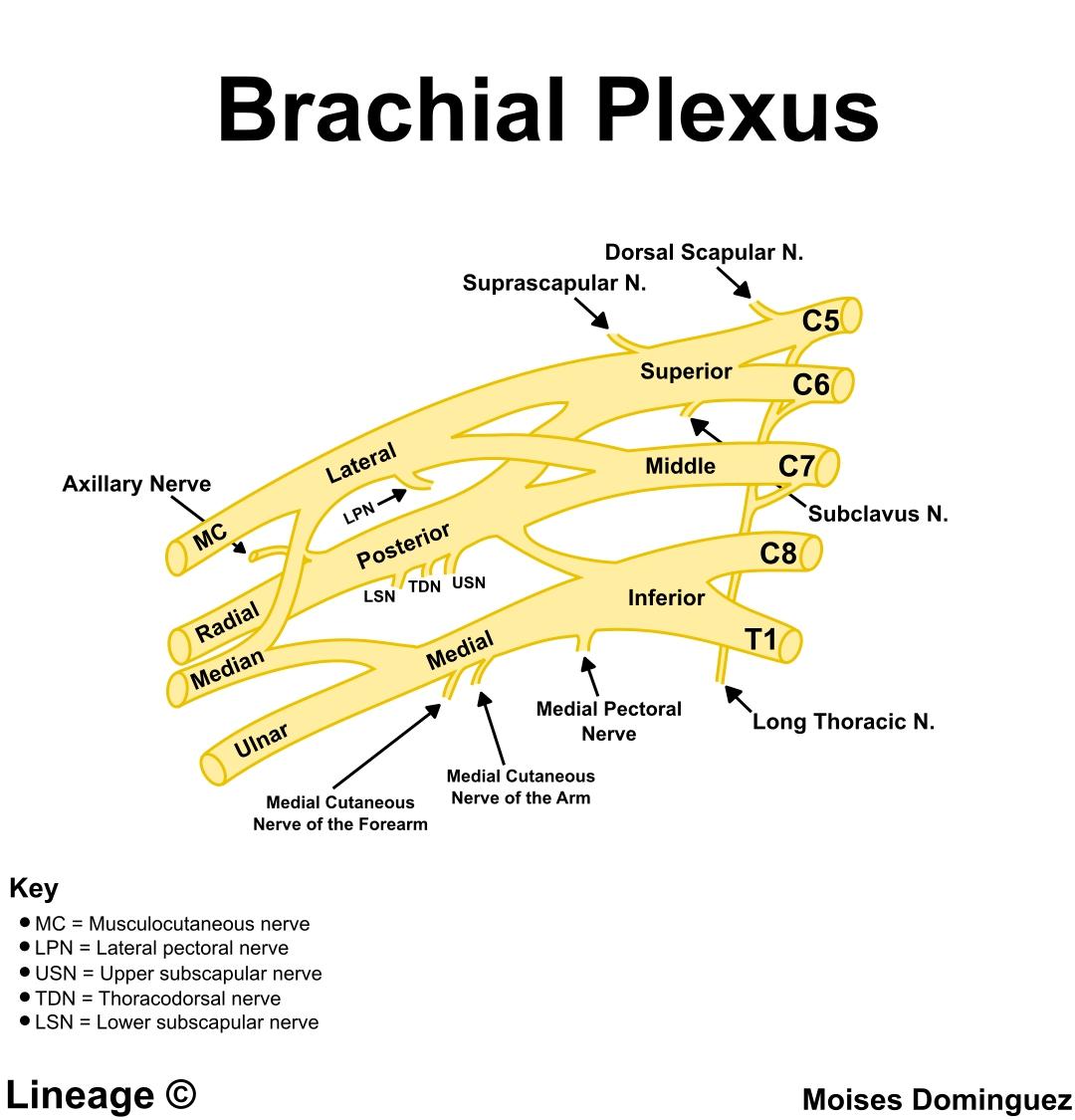 Pure Motor Nerve.Long Thoracic Nerve Anatomy Medbullets Step 1 ...