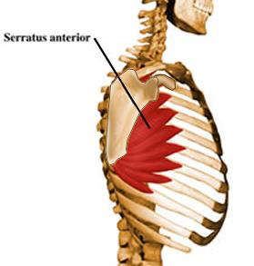 https://upload.medbullets.com/topic/107088/images/serratus.jpg