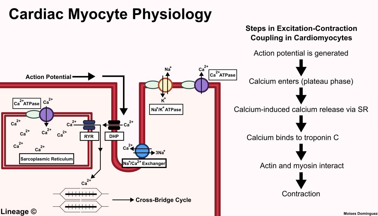 Cardiac Myocyte Physiology - Cardiovascular - Medbullets Step 1