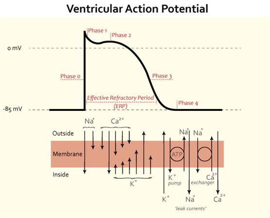 https://upload.medbullets.com/topic/108015/images/ventricular-action-potential.jpg