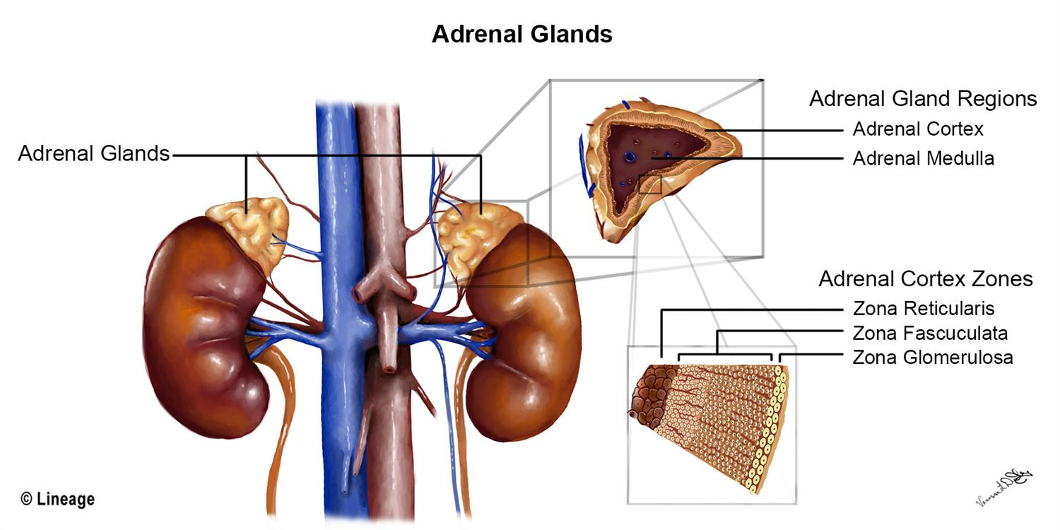https://upload.medbullets.com/topic/109001/images/adrenal_gland.jpg