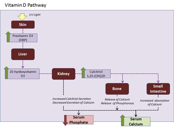 Parathyroid Hormone (PTH) - Endocrine