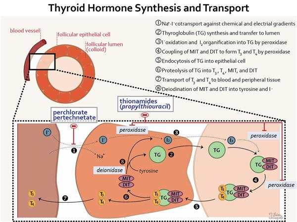 Thyroid Hormones Endocrine Medbullets Step 1