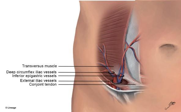 Abdominal Wall Vasculature