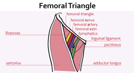 Anatomy of femoral triangle