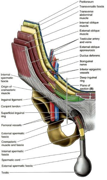 Inguinal Canal - Gastrointestinal - Medbullets Step 1