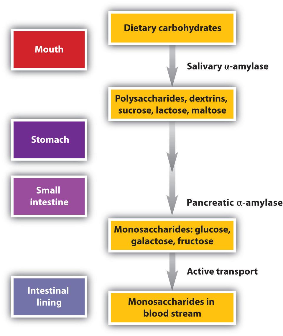 Carbohydrate Digestion - Gastrointestinal - Medbullets Step 1
