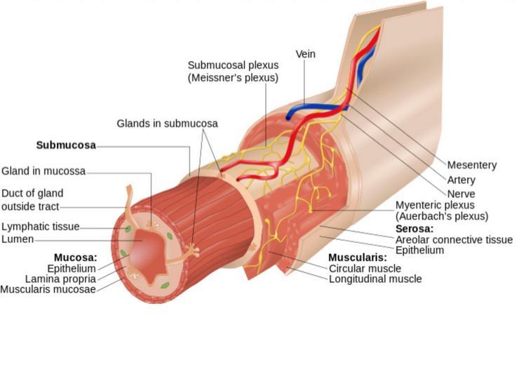 Myenteric plexus