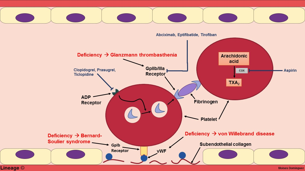 This illustration depicts the basic mechanism behind platelet aggregation. This image is also integrated with pathology and pharmacology that alters this cascade of events. vWF = von Willebrand factor; TXA2 = Thromboxane A2; COX = Cyclooxygenase.