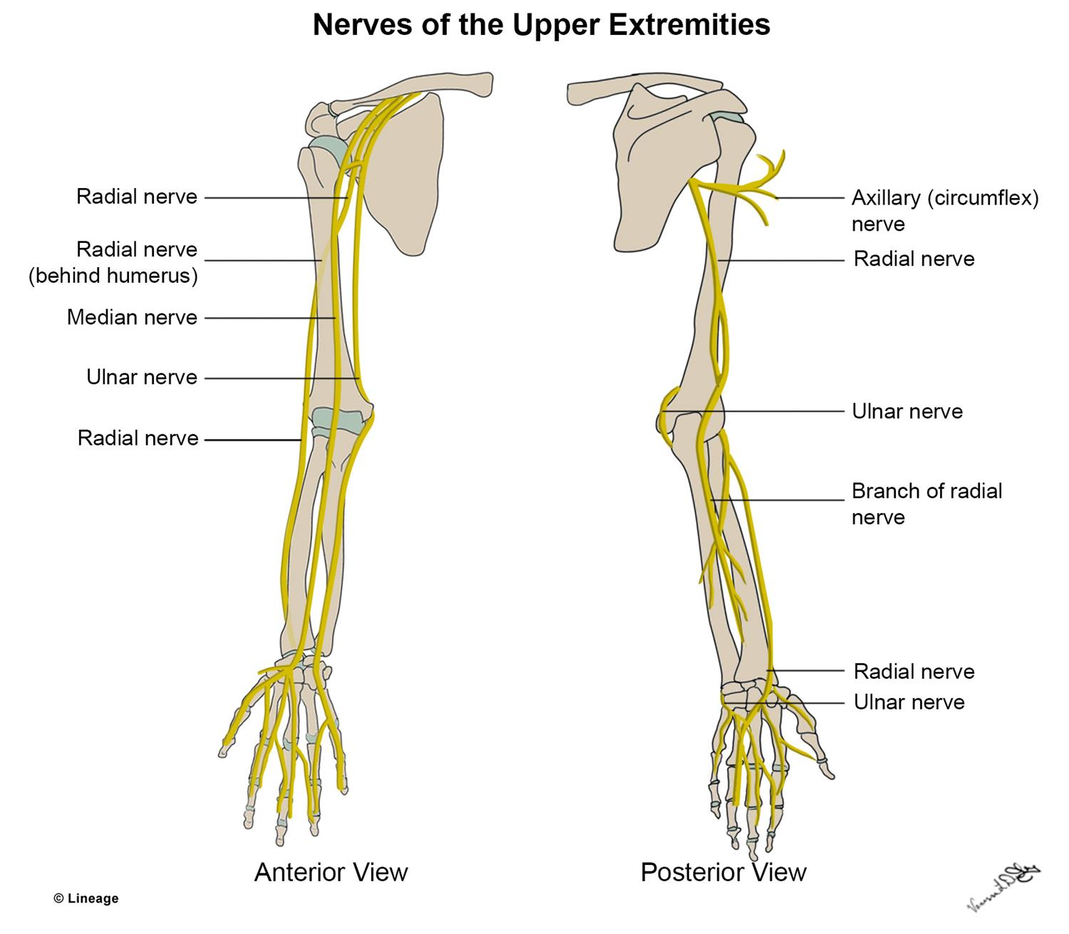 Upper Extremity Nerves Msk Medbullets Step 1